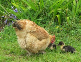 Hen with ducklings she hatched (photograph by Tim Bulkeley)